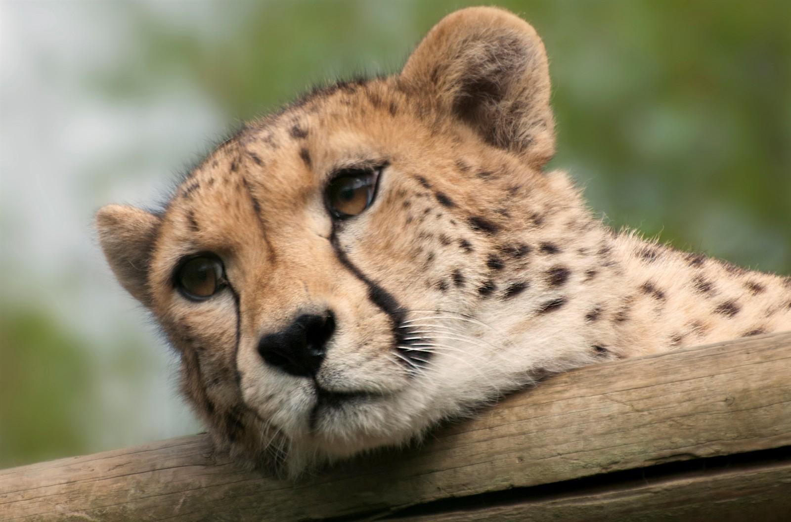 cute baby cheetahs wallpapers