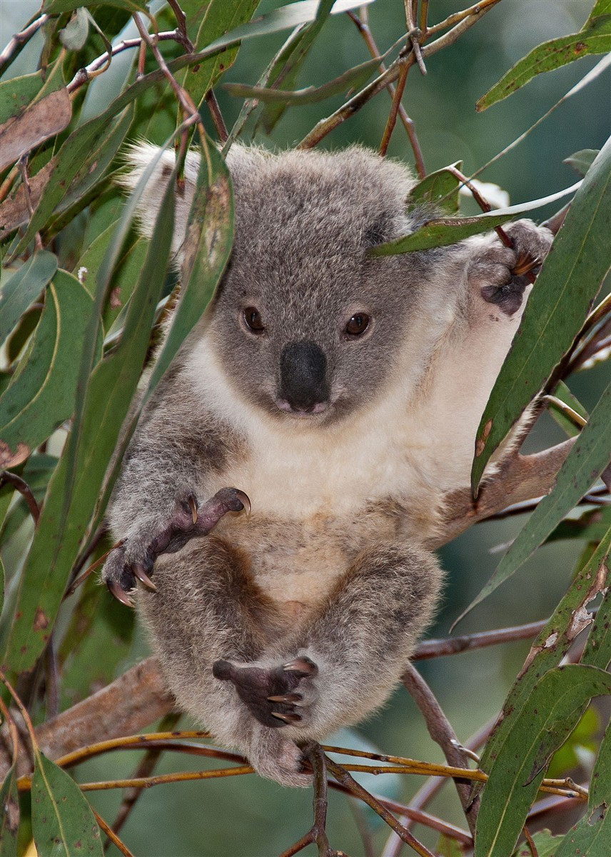 The gallery for --> Koala In Pouch